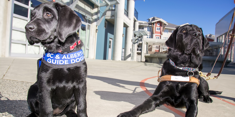Volunteers wanted to raise guide dog puppies