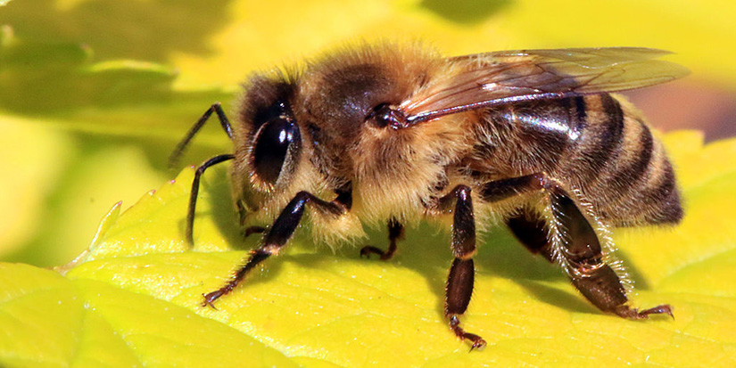 Today is day of the honey bee